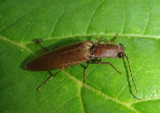 Ctenicera pyrrhos; Click Beetle species