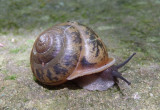 Mesodon normalis; Terrestrial Snail species