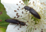 Dalopius Click Beetle species