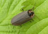 Ellychnia corrusca; Winter Firefly