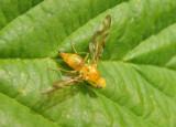 Strauzia Fruit Fly species; female