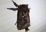4700 - Acharia stimulea; Saddleback Caterpillar Moth