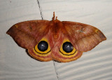 7746 - Automeris io; Io Moth; female