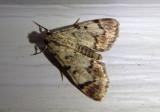 5577 - Epipaschia superatalis; Dimorphic Macalla Moth