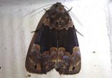 8554.5 - Dinumma deponens; Noctuid Moth species; exotic