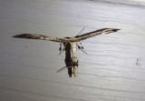 6168 - Oidaematophorus eupatorii; Eupatorium Plume Moth