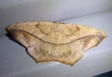 6982 - Prochoerodes lineola; Large Maple Spanworm