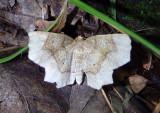 6825 - Metarranthis indeclinata; Pale Metarranthis