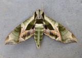 7859 - Eumorpha pandorus; Pandorus Sphinx