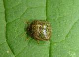 Megacopta cribraria; Kudzu Bug; exotic