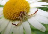 Misumenoides formosipes; Whitebanded Crab Spider; subadult male