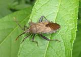Piezogaster calcarator; Leaf-footed Bug species