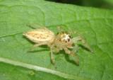 Colonus Jumping Spider species; female
