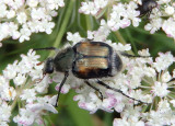 Trichiotinus Flower Chafer species
