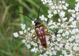 Typocerus velutinus; Banded Longhorn