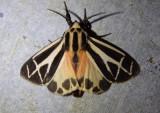 8169 - Apantesis phalerata; Harnessed Tiger Moth