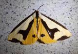 8107 - Haploa clymene; Clymene Moth
