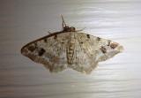 6344 - Macaria signaria; Pale-marked Angle