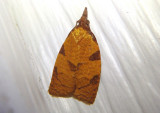 3722 - Cenopis directana; Chokecherry Leafroller