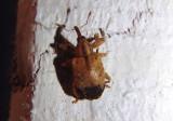 Ochyromera ligustri; Ligustrum Weevil; exotic