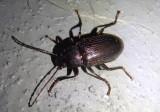 Tarpela americana; Darkling Beetle species