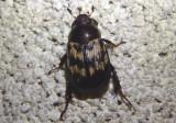 Anomala orientalis; Oriental Beetle; exotic