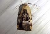 9679 - Elaphria chalcedonia; Chalcedony Midget