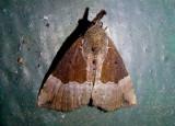 8443 - Hypena bijugalis; Dimorphic Bomolocha; female