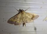 5142 - Diacme elealis; Paler Diacme Moth