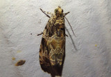 2817 - Olethreutes permundana; Raspberry Leafroller Moth
