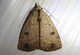 8514 - Scolecocampa liburna; Dead-wood Borer Moth