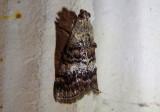 5603 - Pococera maritimalis; Pyralid Moth species