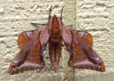 7826 - Paonias astylus; Huckleberry Sphinx