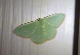 7033 - Nemoria lixaria; Red-bordered Emerald