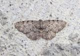 6570 - Aethalura intertexta; Four-Barred Gray