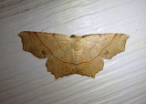 6885 - Besma quercivoraria; Oak Besma; male