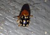 Cryptocephalus guttulatus; Fourteen-spotted Leaf Beetle