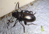 Tarpela micans; Darkling Beetle species