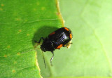 Cryptocephalus Leaf Beetle species