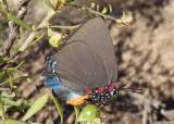 Atlides halesus; Great Purple Hairstreak; female