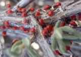 Largus Bordered Plant Bug nymphs