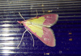 5130 - Choristostigma roseopennalis; Crambid Snout Moth species