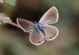 Hemiargus ceraunus; Ceraunus Blue; female
