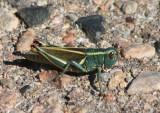 Melanoplus thomasi; Thomas's Two-striped Grasshopper