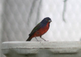 Painted Bunting; male