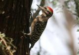 Ladder-backed Woodpecker; male