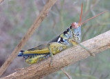 Melanoplus aridus; Arid Lands Spur-Throat Grasshopper; male