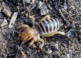 Stenopelmatus Jerusalem Cricket species