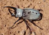 Dynastes grantii; Grant's Hercules Beetle; male