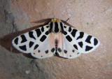 8180 - Grammia incorrupta; Tiger Moth species
